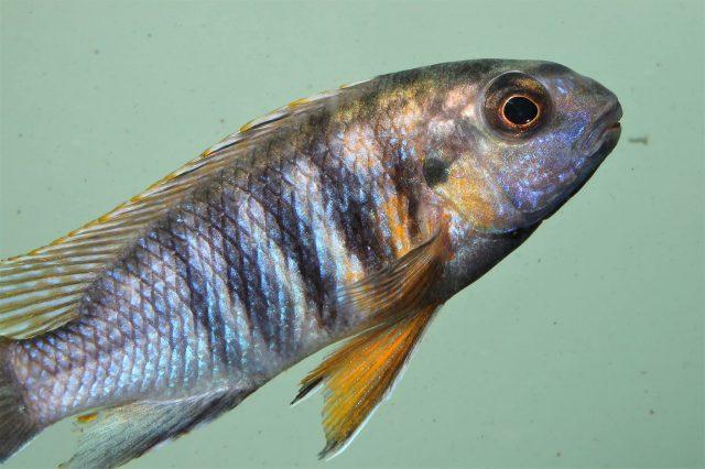 Gephyrochromis sp. 'sand'