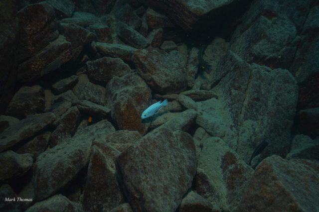 Metriaclima estherae Gome Rock (samec a samice)