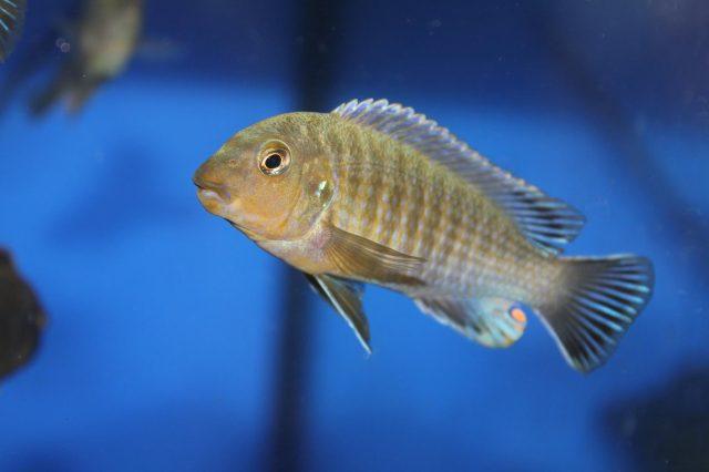 Labidochromis vellicans Gome Rock (samec)