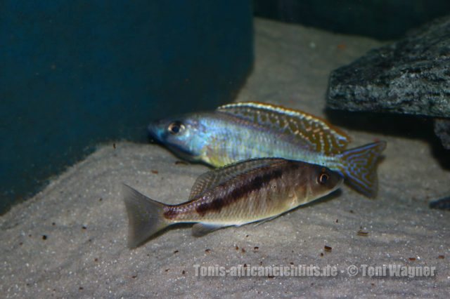 Mylochromis gracilis Senga Bay (samec a samice)