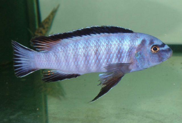 Labeotropheustrewavasae (samec)