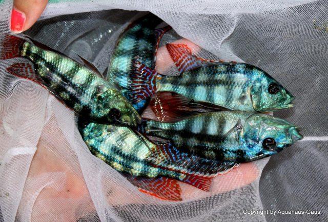 Placidochromis johnstoni (samec)