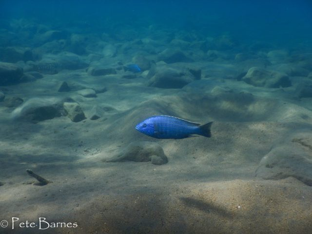 Dimidiochromis kiwinge (samec)