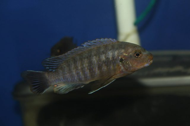 Labidochromis mbenjii Mbenji Island (samec)