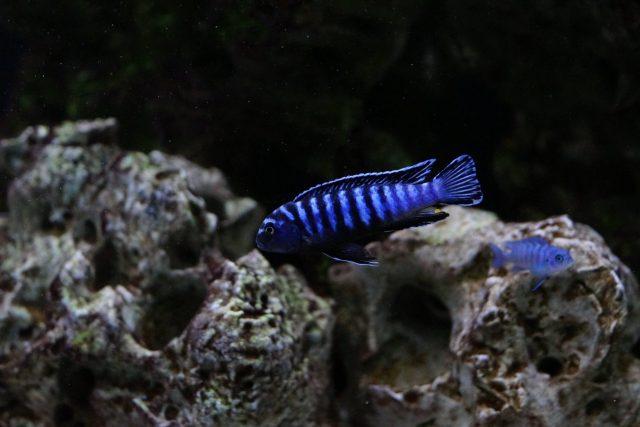 Chindongo sp. 'elongatus ornatus' (samec)