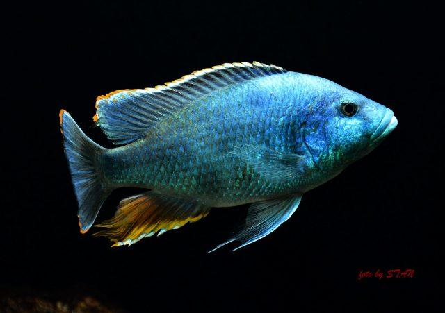 Nimbochromis livingstonii (samec)