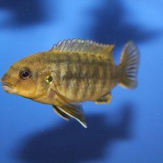 Labidochromis mbenjii
