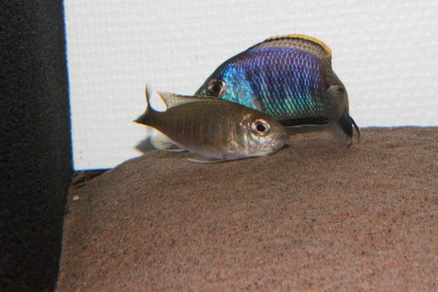 Placidochromis sp. 'blue otter' (samec a samice)