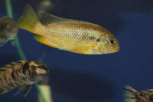 Tropheops sp. 'mauve yellow' Mara Rock (samice)