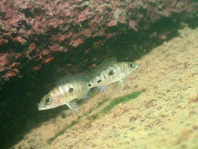 Otopharynx lithobates (samice)