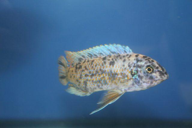 Labeotropheus fuelleborni Ngara (MC samec)
