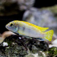 Labidochromis sp. 'perlmutt'