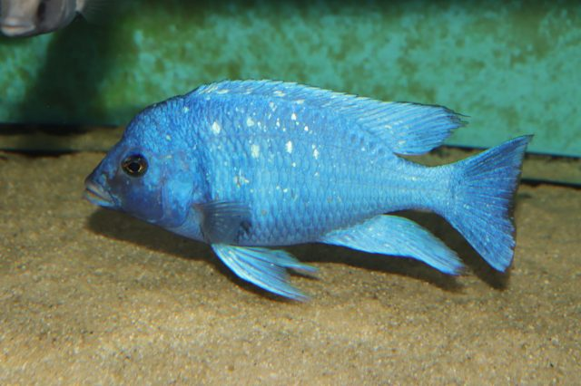 Placidochromis sp. 'phenochilus tanzania' (samec)