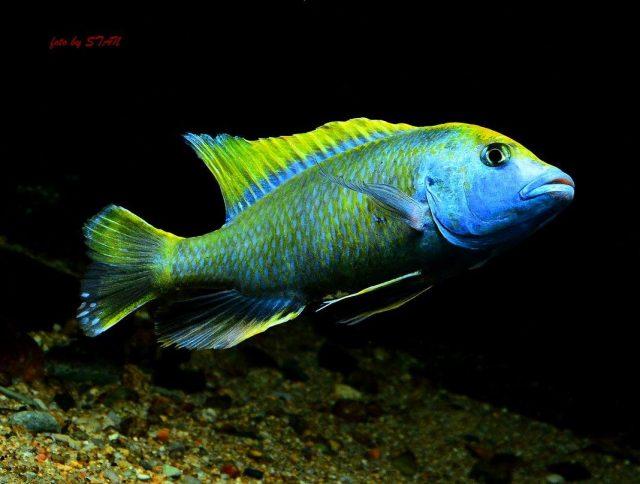 Nimbochromis venustus (samec)