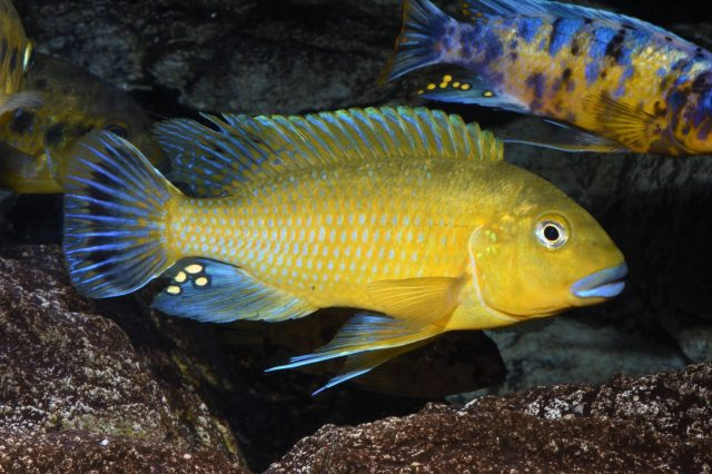 Pseudotropheus sp. 'williamsi'