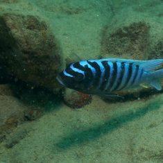 Metriaclima zebra