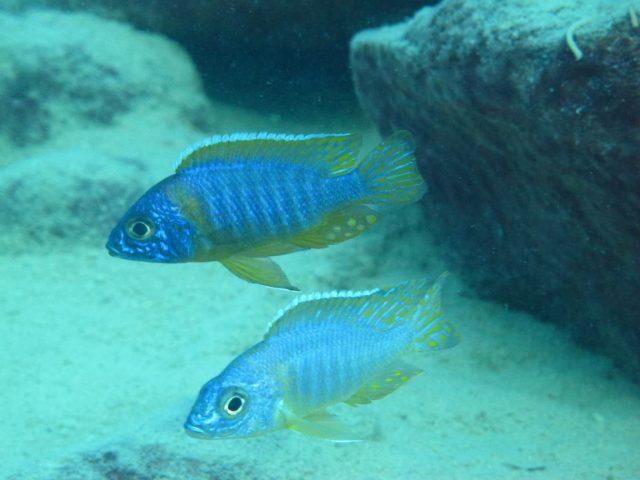 Aulonocara korneliae Chizumulu Island (samec)