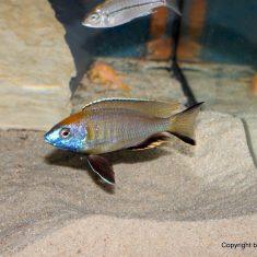 Nyassachromis prostoma