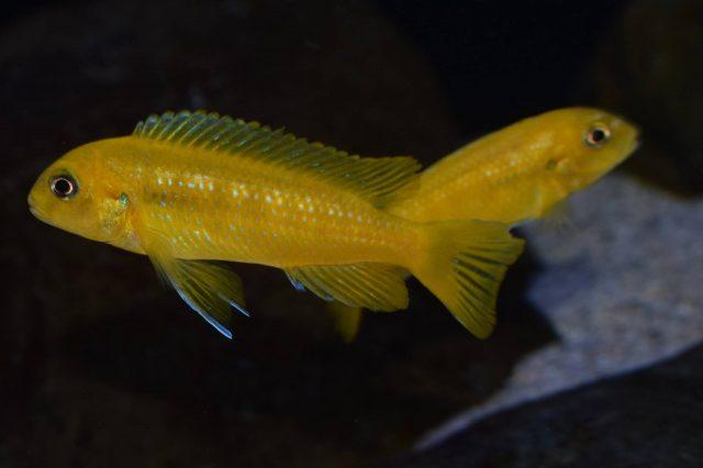 Pseudotropheus interruptus (samice)