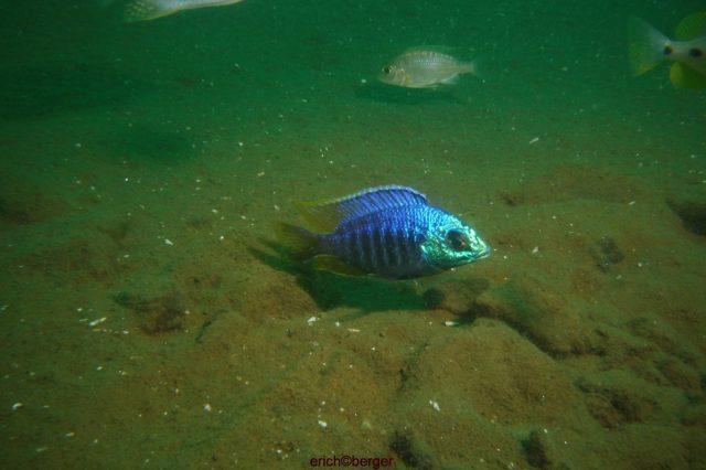 Placidochromis sp. 'jalo' (samec a samice)