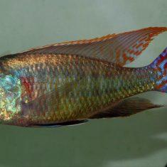 Lethrinops marginatus