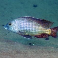Lethrinops lethrinus