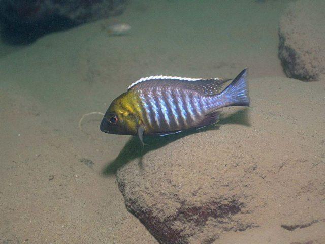 Lethrinops sp. 'micrentodon'(samec)