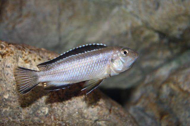 Pseudotropheus perileucos (samice)