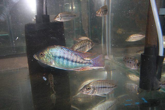 Protomelas similis (samec a samice)