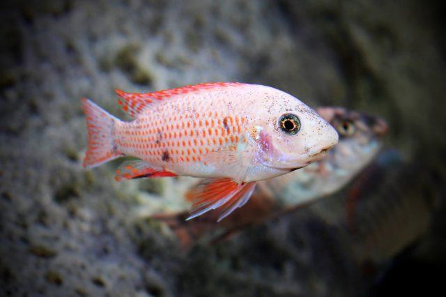 Labeotropheus artatorostris (O samec)