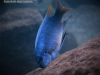 Labeotropheus fuelleborni Luwino Reef