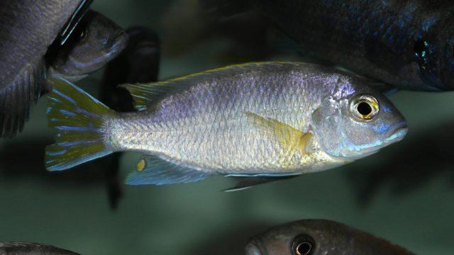 Metriaclima lanisticolaMazinzi Reef (samec)