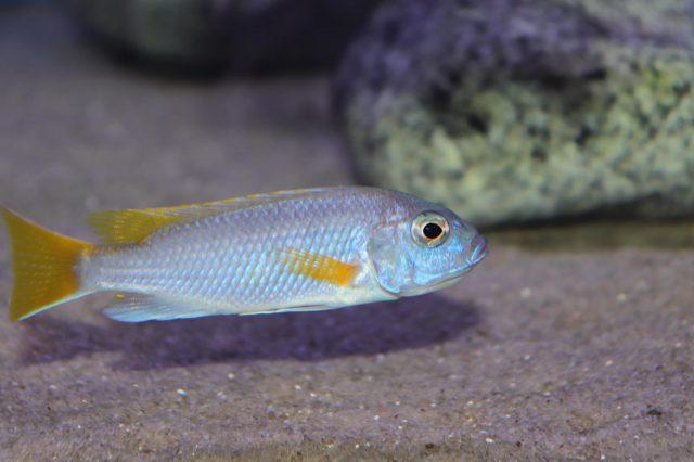 Pseudotropheus sp. 'acei' Luwala Reef (samice)