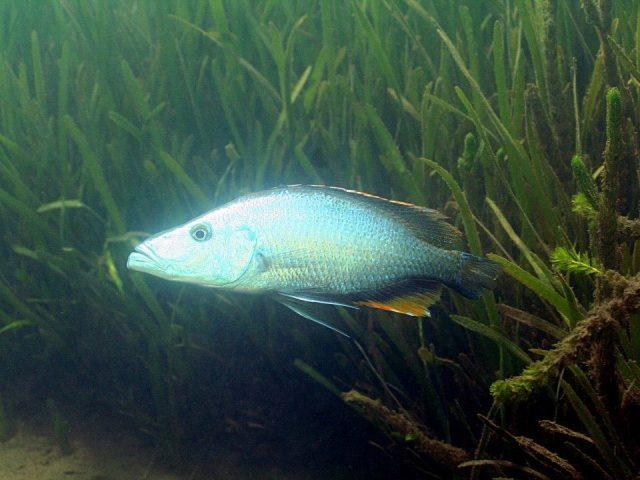Dimidiochromis compressiceps Chiofu Bay