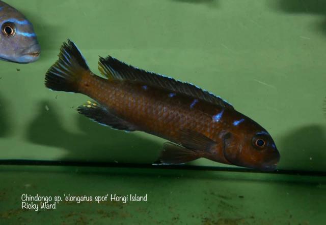 Chindongo sp. elongatus