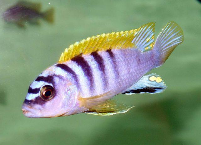 Labidochromis sp. 'hongi' Hongi Island (samec)