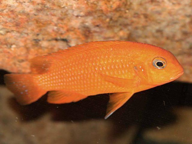 Tropheops sp. 'chilumba' Chilumba Harbour (samice)