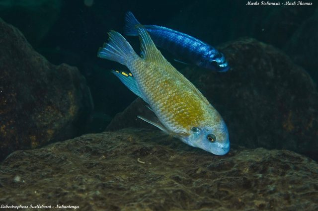 Labeotropheus fuelleborni (samec)