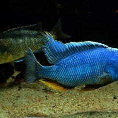Buccochromis nototaeniae