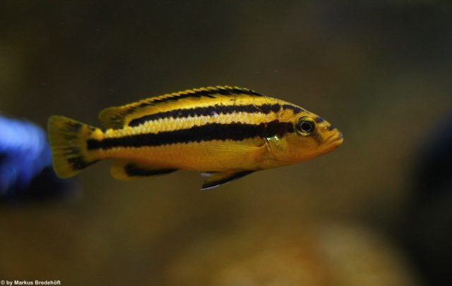Melanochromis chipokae (samice)