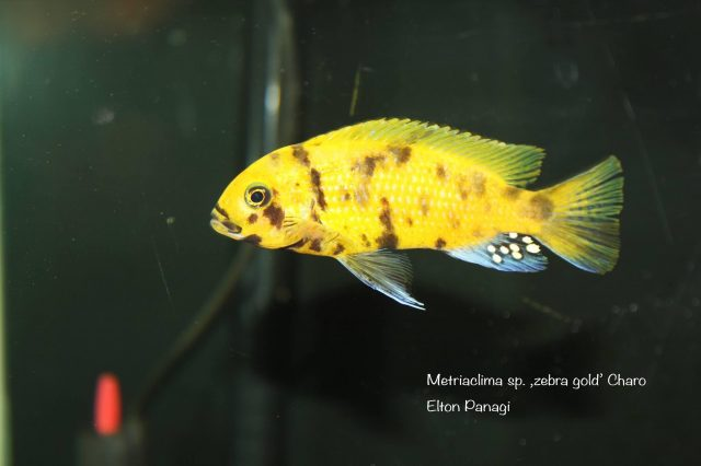 Metriaclima sp. ,zebra gold' Charo (MC samec)