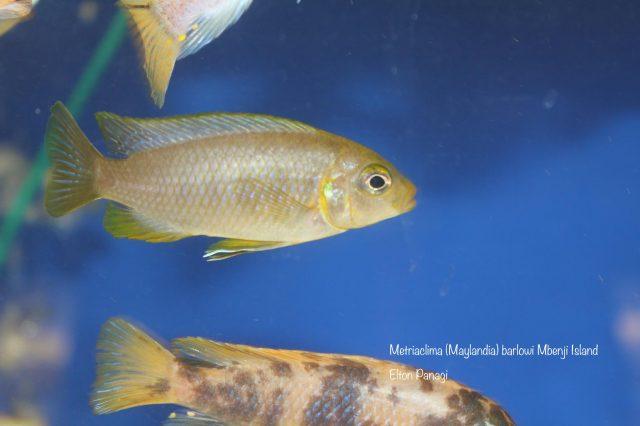 Metriaclima barlowi Mbenji Island (samice)