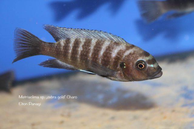 Metriaclima sp. ,zebra gold' Charo (samice)