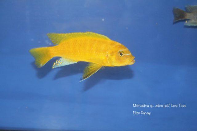 Metriaclima sp. 'zebra gold' Lion's Cove