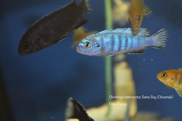 Chindongo heteropictus Same Bay
