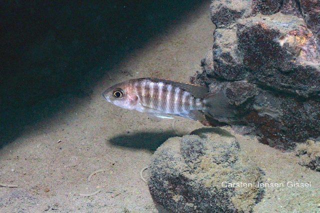 Aulonocara jacobfribergi Makokola Reef (samice)