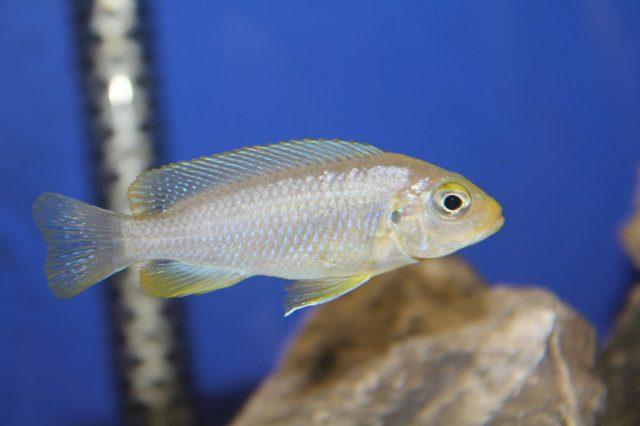 Metriaclima glaucos Cobwe (samice)