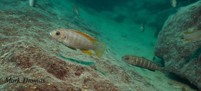 Metriaclima greshakei (samice)