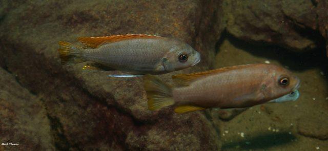Metriaclima greshakei (samec a samice)