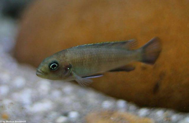 Cynotilapia sp. 'lion' Sanga(samice)